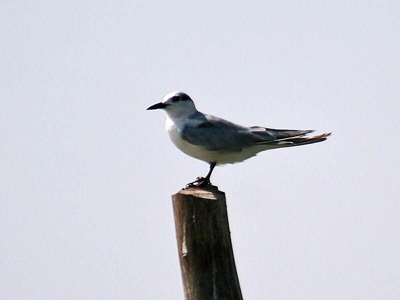 Tern in Chilka, Orissa I IMG 9309