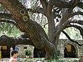 Texas Live Oak Quercus fusiformis.jpg