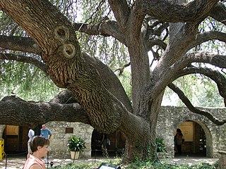 <i>Quercus fusiformis</i> species of plant