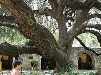 Quercus fusiformis - At the Alamo in San Antonio, Texas
