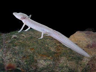 Texas blind salamander - Image: Texas blind salamander
