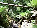 Thamnic rainforest at Creekton Falls.JPG