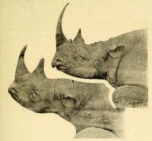White rhinoceros - Wikipedia