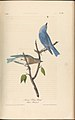 The Birds of America from Drawings Made in the United States MET DP245256.jpg