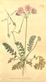 The Botanical Magazine, Plate 377 (Volume 11, 1797).png