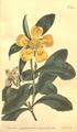 The Botanical Magazine, Plate 449 (Volume 13, 1799).png