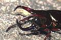 The Moellenkampi beetle (Chalcosoma moellenkampi) (20527013661).jpg