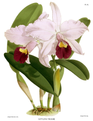 The Orchid Album-01-0137-0045-Cattleya trianae.png