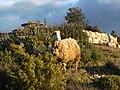 The lost sheep.jpg