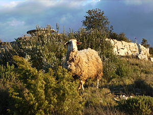 English: A lost sheep, behind Rosemary plants,...