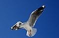 The silver gull (Chroicocephalus novaehollandiae) (10910070304).jpg