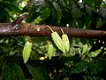 Theobroma cacao (young cacao pods - Haiti).jpg