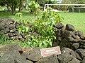 Thespesia populnea (Jardin botanique de Hanga Roa).jpg