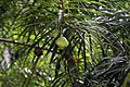 Thevetia peruviana 13zz.jpg