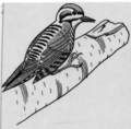 Three-toed woodpecker (line art) (PSF-T950006 (cropped)).png