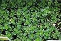 Thymus citriodorus Lemon Frost 0zz.jpg