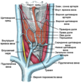 Thyroid2 ukrainian.png