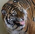 Tiger 3a (16508798627).jpg
