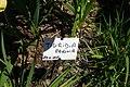 Tigridia pavonia, Conservatoire botanique national de Brest 01.jpg