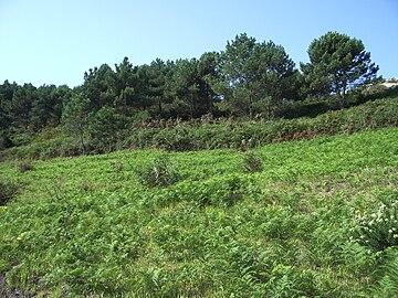 Tipo de vegetación en las Islas Cíes (Galicia).jpg