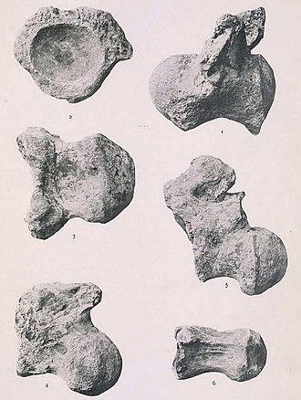 Neuquensaurus - Holotypic caudal vertebrae