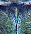 Tomentaromia spec. 2 Scutellum (11980448263).png