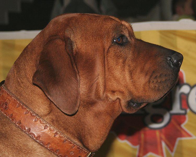 Dog Tosa Inu