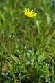 Tragopogon pratensis ssp. orientalis-Kaernten-2008-Thomas Huntke.jpg