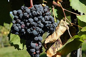 Zweigelt - Zweigelt grapes with signs of withering