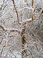 Tree-Ice Storm-Dec 2007-St Jo MO-2.jpg