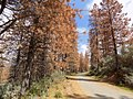 Tree Mortality on Mtn Rd 465, Sequoia NF (38205680204).jpg