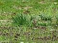 Tree Pipit (Anthus trivialis) (27649604202).jpg