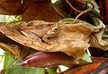 Tree frog. Mantidactylus femoralis - Flickr - gailhampshire.jpg