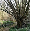 Tree next to Saffron brook - geograph.org.uk - 1184805.jpg