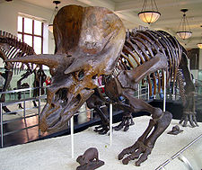 Triceratops skeleton at the American Museum of Natural History in New York City.