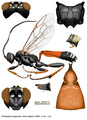 Tricholabus strigatorius (Gravenhorst).png