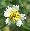 Tridax procumbens flower.jpg