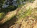 Trifolium arvense (subsp. arvense) sl20.jpg