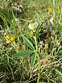 Trifolium montanum (subsp. montanum) sl7.jpg