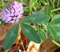 Trifolium pratense (Rotklee).JPG