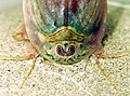Triops-longicaudatus-carapax-eyes.jpg