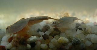 Notostraca Order of small freshwater animals