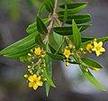Tristania neriifoliaGarigal11337581514 a3e1c2f97f o.jpg
