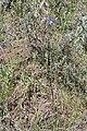 Triteleia grandiflora 9161.JPG