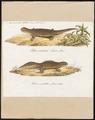 Triton cristatus - 1700-1880 - Print - Iconographia Zoologica - Special Collections University of Amsterdam - UBA01 IZ11400111.tif