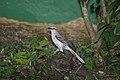 Tropical Mockingbird (Mimus gilvus) (4090269628).jpg