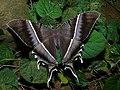 Tropical Swallowtail Moth (Lyssa zampa) (6654060775).jpg