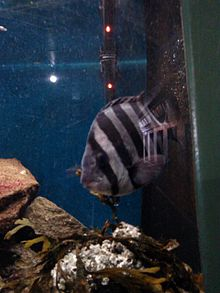 An approximately 6 inch long striped beakfish fish in an aquarium tank. Some rocks, kelp, and invertebrates are along the bottom of the tank.