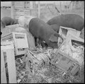 Tule Lake Relocation Center, Newell, California. A close up of hogs eating garbage at the temporary . . . - NARA - 536372.tif