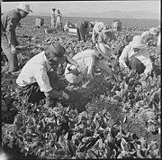 Tule Lake Relocation Center, Newell, California. Harvesting spinach. - NARA - 538316